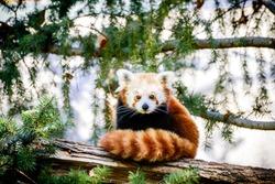 Cute Red Panda from China, At Sacramento Zoo of California