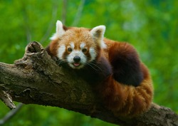 cute red panda pulling the tongue out