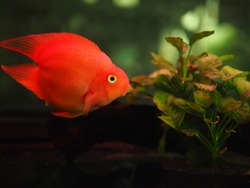 Cute red parrot fish (also known as blood parrot cichlid) in aquarium.