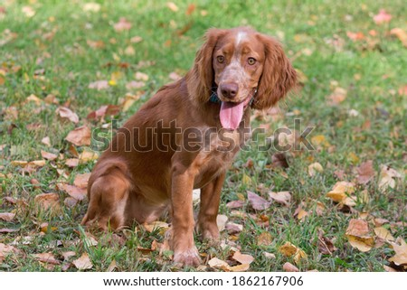 Cute red russian spaniel is sitting on a autumn foliage in the park. Pet animals. Zdjęcia stock ©