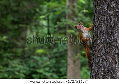 Cute red squirrel animal sitting on a branch of pine forest in sunny spring day in wildlife woods. Amazing picture of beautiful sunny squirrel animal sitting on tree in deep forest, squirrel animal