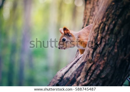 Cute red squirrel animal sitting on a branch of pine forest in sunny spring day in wildlife woods. Amazing picture of beautiful sunny squirrel animal sitting on tree in deep forest, squirrel animal #588745487