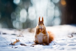 Cute red squirrel eats a nut in winter scene with nice blurred forest in the background