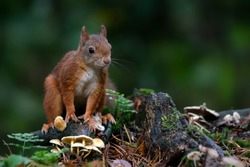 Cute Red Squirrel (Sciurus vulgaris) in an autumn forest. Autumn day in a deep forest in the Netherlands.