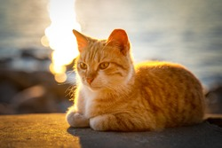 Cute red street cat lies on concrete parapet and basks in golden rays of setting sun, blurred background with sea, front view. Sunbeams reflect off the surface of water.