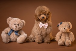 Cute red toy poodle sitting between teddy bears. Brown background.