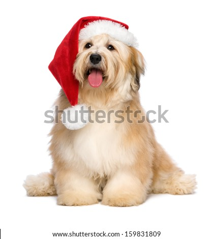 Cute reddish sitting Bichon Havanese puppy dog in a Christmas - Santa hat. Isolated on a white background stock photo