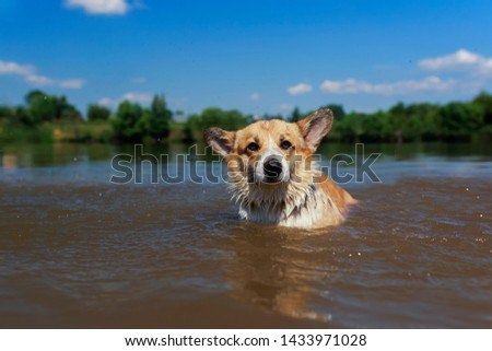 cute redhead Corgi dog puppy swimming in a pond funny wetting the face and ears in the village on a summer sunny hot day