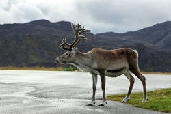 Cute reindeer on the roadside. Adult reindeer on a cloudy day.