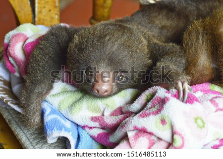 Cute rescued Baby Sloth playing on a fleece blanket, closeup of brown baby two toed sloth snoozing, lazy day