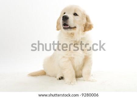 cute retriever puppy