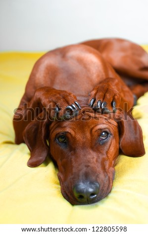Cute rhodesian ridgeback dog puppy with paws crossed on her head