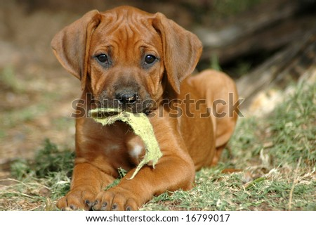 Rhodesian Ridgeback Puppies on Cute Rhodesian Ridgeback Hound Dog Puppy Stock Photo 16799017
