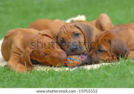 Cute rhodesian ridgeback puppies playing together in the garden with a ball