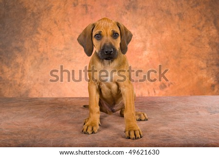 Cute Rhodesian Ridgeback puppy on brown mottled background - stock photo