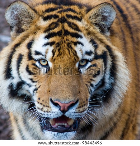 Cute roaring tiger cub closeup