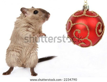 Cute rodent by Christmas decorations on snow white background, macro close up isolated on white