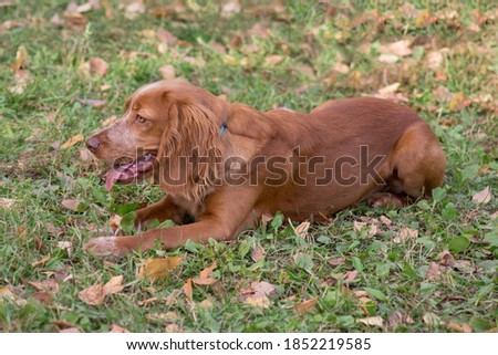 Cute russian spaniel is lying on a autumn foliage in the park. Pet animals. Zdjęcia stock ©