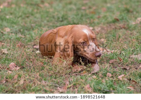 Cute russian spaniel is lying on a autumn foliage in the park. Pet animals. Purebred dog. Zdjęcia stock ©