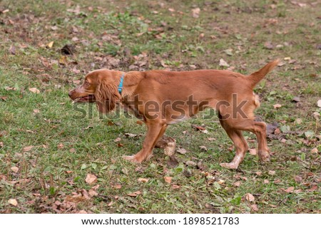 Cute russian spaniel is running with stick in his teeth in the autumn park. Pet animals. Purebred dog. Zdjęcia stock ©