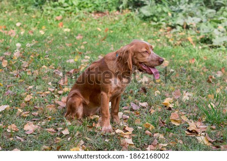 Cute russian spaniel is sitting on a autumn foliage in the park. Pet animals. Zdjęcia stock ©