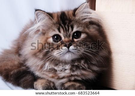 Cute sad kitty - Shutterstock ID 683523664