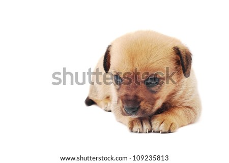 cute sad puppy on white