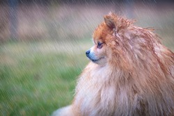 Cute sad upset little animal, dog in the rain. Wet Pomeranian Spitz puppy standing alone in rainy cold weather on grass, looking at camera with sad look. Loneliness, broken heart concept, copyspace