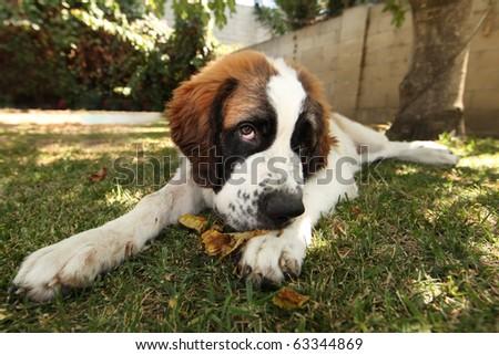 Cute Saint Bernard Puppy Lying in the Grass Outdoors