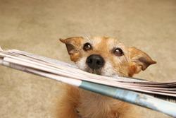 Cute scruffy terrier dog bringing in the newspaper