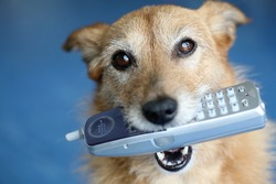 Cute scruffy terrier dog holding a phone in her mouth looking up
