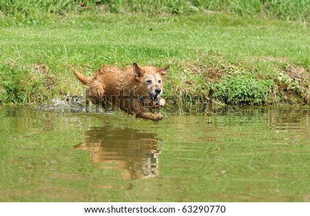 Cute scruffy terrier dog jumping into the pond, captured midair just before she lands in the water