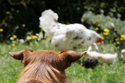 Cute scruffy terrier dog looking at a mother hen with her chickens