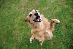 Cute scruffy terrier dog standing on her hind legs, happy grin on her face