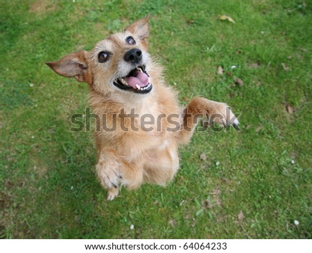 Cute scruffy terrier dog standing on her hind legs with a big smile on her face.