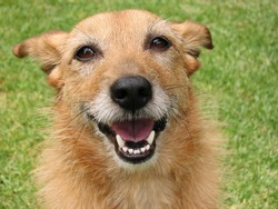 Cute scruffy terrier dog with a big smile on her face