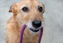 Cute scruffy terrier dog with the leash in her mouth, ready for a walk