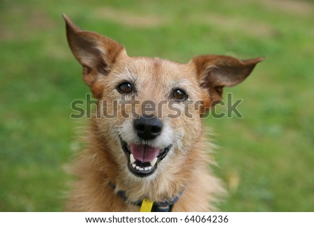 Cute scruffy terrier with a happy smile