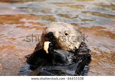 Cute sea otter eating clams holding with both paws