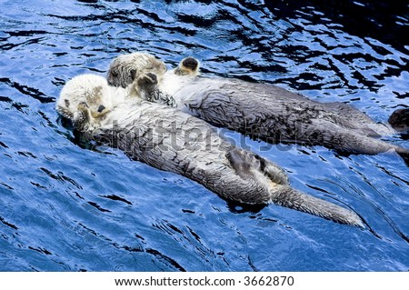 cute sea otter holding each other's hand