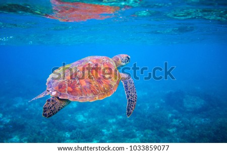 Stock Photo Cute sea turtle swims in sea water. Green sea turtle closeup. Wildlife of tropical coral reef. Tortoise undersea. Tropic seashore ecosystem. Big turtle in blue water. Aquatic animal underwater photo
