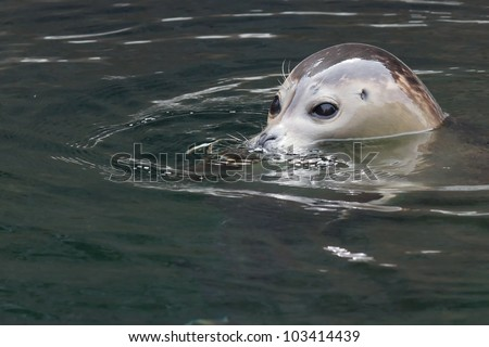 Cute seal pup looking out of the water with big curious eyes