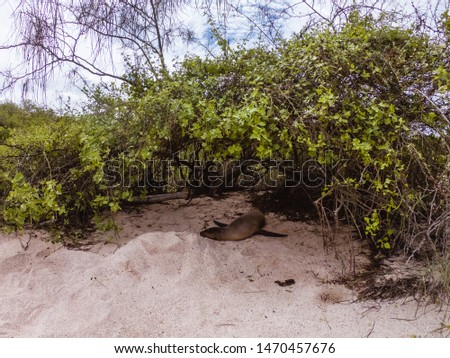 Cute seals sleeping on the beach at San Cristobal. Animal resting in shade. Shot on vacation in Galapagos. Nature, animals, ocean, travel concepts.
