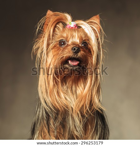 cute seated yorkshire terrier puppy dog looking up at something