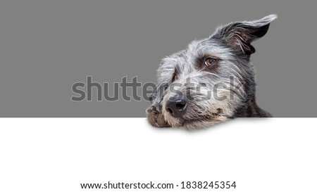 Cute shaggy mixed terrier breed dog hanging tilted head and paw over a blank white web banner with 50% grey background Stock photo ©