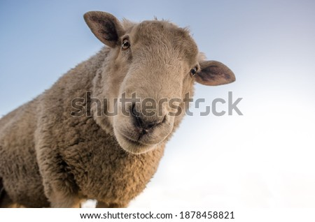Cute sheep. Portrait of sheep see in camera Foto stock ©
