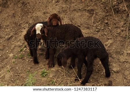Cute sheeps  #1247383117