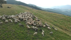 Cute sheeps are chewing juicy grass in mountains. Gentle slope of the green hill.