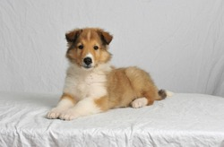 Cute sheltie puppy Shetland Sheepdog laying down with a white high key background,