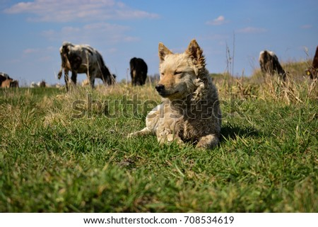 Cute shepherd dog lying on the meadow and guarding the cattle  #708534619